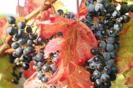 uva splendida d'autunno (1)