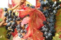 uva splendida d'autunno (2)