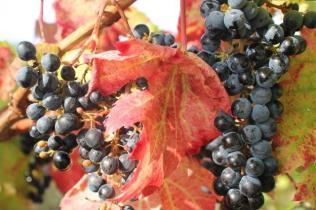 uva splendida d'autunno (3)