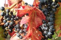 uva splendida d'autunno (4)