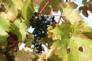 uva splendore d'autunno (1)