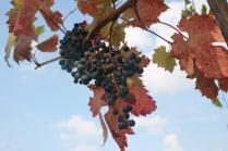 uva splendore d'autunno (2)