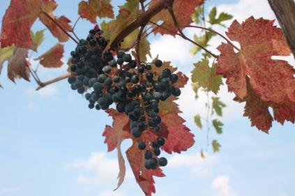 uva splendore d'autunno (3)