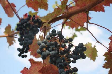 uva splendore d'autunno (4)