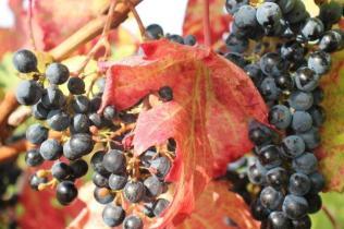 uva splendore d'autunno (5)